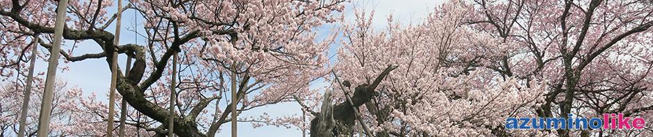 2017/4/10【 日本三大ザクラの神代桜】山梨県北杜市にある山高神代桜は推定樹齢2,000年とも言われ、支える柱もハンパではありません。
