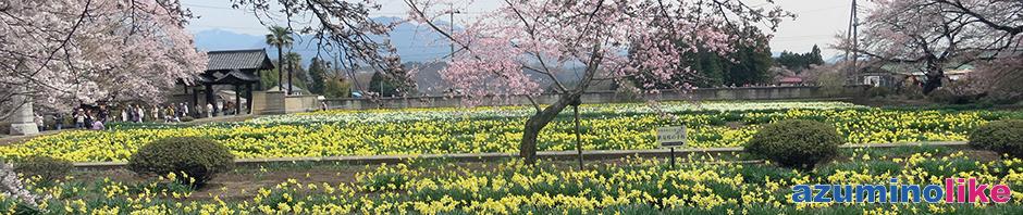 2017/4/10【神代桜の脇の風景】お寺の境内には桜に競って咲く草花も色艶やかです。