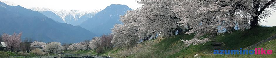 2017/4/20【安曇野・早春賦の桜】恒例となったご近所さんとの花見宴会、当日は満開の桜でした。