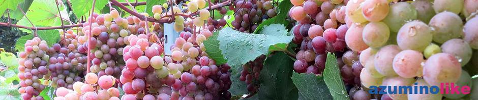 2016/9/14【里山辺のブドウ棚】松本エリアのブドウの歴史で一番古いのがこの里山辺(さとやまべ)らしく、江戸時代から既に栽培されていたようです。