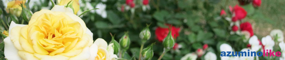 2014/6/6【我が家にもバラ】玄関先には白バラ、庭先には黄色と赤いバラが咲きました。バラ園ほどの見事さはありませんが、可憐さは自宅ならではの感です。