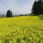 11 本日お目当ての菜の花