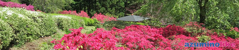 2016/5/13【満願寺のツツジ】家から10kmほど離れた山寺はツツジの名所で、5月中旬以降は満開となります。