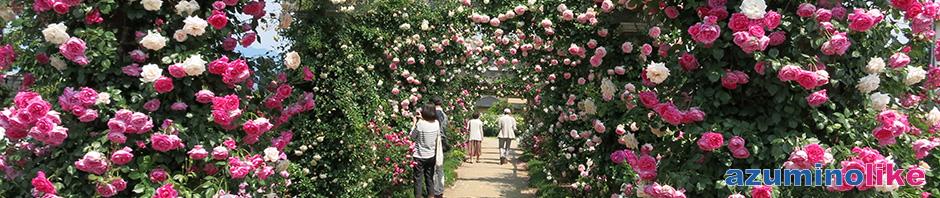 2017/6/10【中野市、一本松公園】バラ園として有名な公園にはおよそ品種850、2500株のバラが所狭しと咲き乱れ、規模は信州一だと思います。