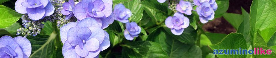 2017/6/30【我が家のアジサイ】地植えのアジサイは例年、紫とピンクが混ざった色彩豊かな花を咲かせてくれます。