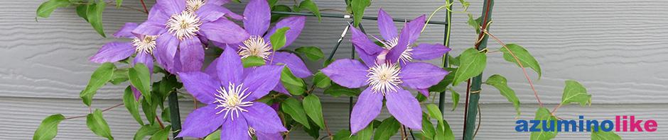 2017/8/5【我が家のクレマチス】クレマチスはツル性植物の女王とも呼ばれる宿根の多年草で、紫色が夏の朝顔を思い出すようでイイですね。