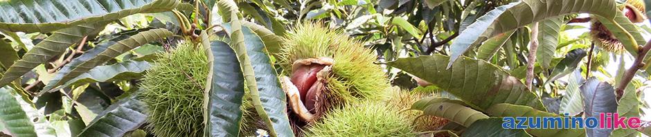 2017/9/23【栗の実の熟する頃】食欲の秋、郷里の群馬県で栗拾いをしました。見上げた栗の木には今が旬の実が熟していました。