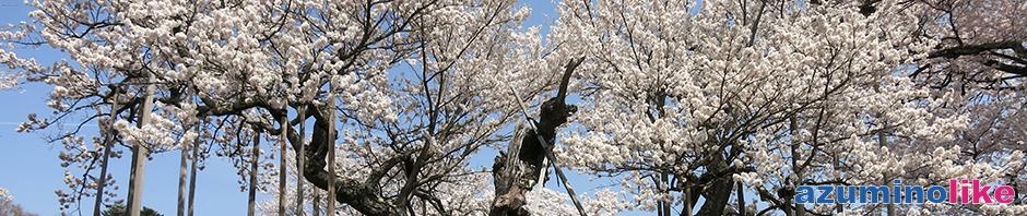 2018/4/4 【 山梨県・山高神代桜】日本三大桜の一つ、山梨県北杜市にある神代桜。このところ毎年楽しんでいます。