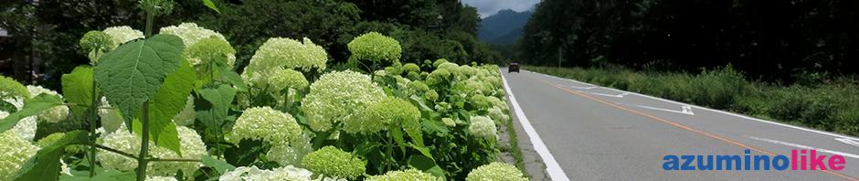2018/7/8【 原村のアナベル街道】アナベルと言う花はアジサイと違って、太陽がお気に入りで、原村のアナベル街道には道路沿いに見事に咲き誇っていました。