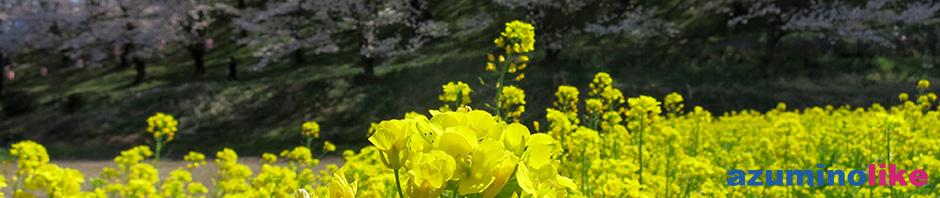2019/4/20【弘法山の菜の花畑】松本・弘法山の桜見物で脇に咲く菜の花も見事でした。