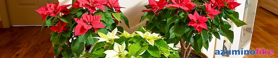 2019/12/5【冬の花、ポインセチア】我が家の屋内で一冬咲き続けてくれます。ありがたや。