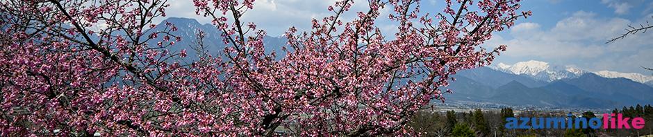 2020/4/4【池田町の桜便り】4月上旬、ソメイヨシノはまだですが、ピンクのしだれ桜はもう見頃でした。