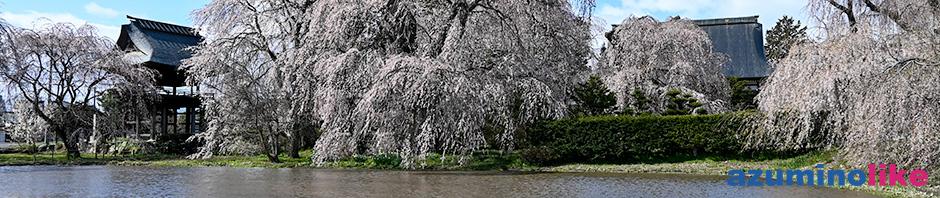 2020/4/14【松本・安養寺のしだれ桜】しだれ桜で有名な安養寺、池の上のしだれ桜は樹齢500年なのだそうです。立派です!