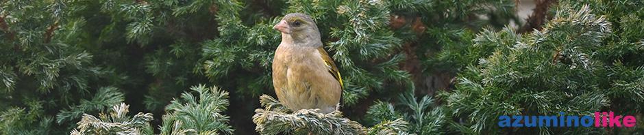 2020/4/16【我が家の野鳥】安曇野に越して9年目、我が家に初めて野鳥の巣ができました。春ですね〜。