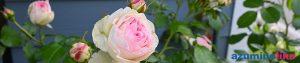 2020/6/1【庭のバラ】我が家に咲いたピエール・ド・ロンサールと言うバラ、害虫の被害が割りと少なく大きく立派に咲きました。なかなかの存在感です。