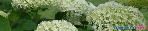 2020/6/26【庭のアナベル】庭先に咲くアナベル、最初は淡い緑、それが次第と純白となって再び緑に変化するようです。とても梅雨時によく似合う花ですね。