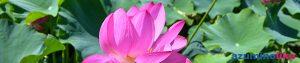 2020/7/31【豊科のハス】豊科のハスはモネの水蓮のような水上ではなく水無しの畑に生えています。よくもまあ咲き揃い、暑気を一掃するような元気をもらいました。