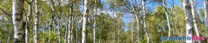 2020/9/28【八千穂高原の白樺林】佐久市のメルヘン街道の玄関口にあるのが八千穂高原で、白樺が群生した林は日本一の50万本を誇るのだそうです。